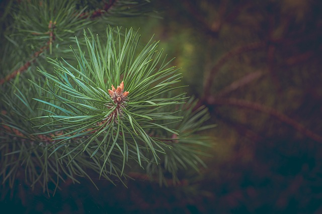 Jehličí stromu borovice
