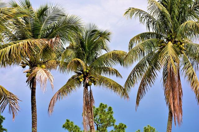 kokosové palmy z dálky